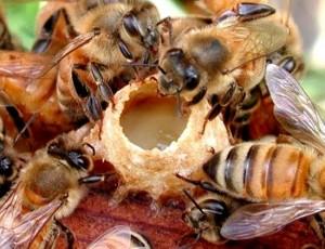 Tự tắm trắng da tại nhà bằng sữa ong chúa